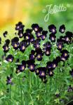 VIOLA cornuta  'Bowles Black' Portion(en)