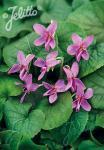VIOLA odorata f. rubra   Portion(s)