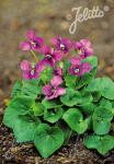 VIOLA sororia  'Rubra' Portion(s)