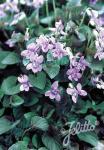 VIOLA labradorica hort.  'Purpurea' Seeds