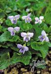 VIOLA sororia  'Dark Freckles'