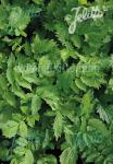 VALERIANA officinalis  'BLBP 19' Portion(en)