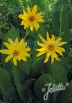 WYETHIA amplexicaule   Portion(en)