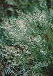 ACHNATHERUM calamagrostis   Portion(en)