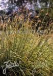 ANDROPOGON gerardii   Portion(en)