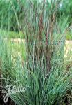 ANDROPOGON scoparius