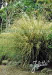 CHIONOCHLOA rigida   Portion(en)