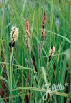 CAREX acutiformis   Portion(s)
