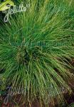 CAREX appalachica   Portion(s)
