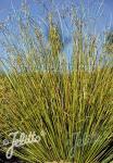 CAREX buchananii f. viridis  'Green Twist' Portion(en)