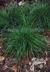 CAREX divulsa   Portion(en)