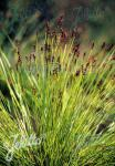 CAREX davalliana   Portion(en)