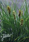 CAREX macrocephala   Portion(en)