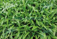 CAREX plantaginea  'Blue Ridge'