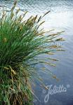 CAREX paniculata   Portion(en)