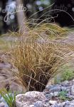 CAREX petriei   Portion(s)