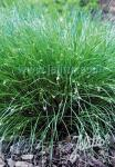 CAREX remota   Portion(en)