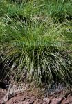 CAREX rosea   Portion(s)
