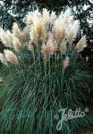 CORTADERIA selloana   Portion(en)