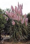 CORTADERIA selloana  'Rosea' Portion(s)