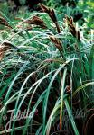 CAREX trifida   Portion(s)
