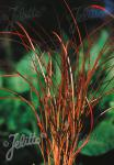 CAREX tenuiculmis   Portion(s)