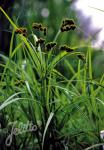 CAREX sparganioides   Portion(en)
