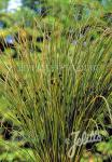 CAREX solandri   Portion(en)