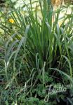 CYMBOPOGON flexuosus   Portion(en)