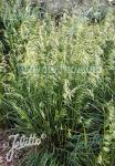 DESCHAMPSIA cespitosa  'Pixie Fountain'