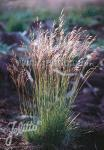 DESCHAMPSIA flexuosa   Portion(s)