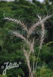 ELYMUS canadensis  'Icy Blue' Portion(en)