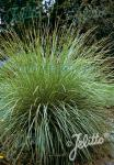 FESTUCA mairei   Portion(s)