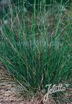 FESTUCA ovina   Portion(en)