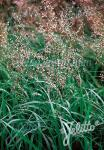 HIEROCHLOE odorata   Portion(en)