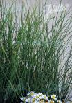 JUNCUS pallidus   Portion(en)