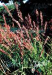 MELICA altissima var. atropurpurea   Portion(s)