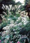 MISCANTHUS sinensis  'Early Hybrids' Portion(s)