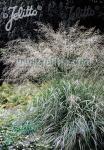 MOLINIA caerulea ssp. arundinacea