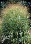 PANICUM virgatum  'Emerald Chief' Portion(en)
