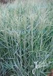 PANICUM virgatum  'Blue Giants' Portion(en)