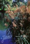 PHRAGMITES australis   Portion(s)