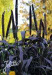 PENNISETUM glaucum  'Purple Baron' Portion(en)