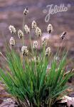 SESLERIA sadleriana   Portion(s)
