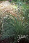 STIPA barbata   Portion(s)