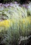 STIPA capillata   Portion(en)