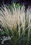 STIPA ichu   Portion(en)
