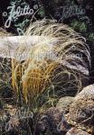 STIPA joannis   Portion(en)