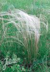 STIPA tirsa   Portion(s)