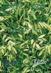 CHASMANTHIUM latifolium  'Little Tickler' Portion(en)